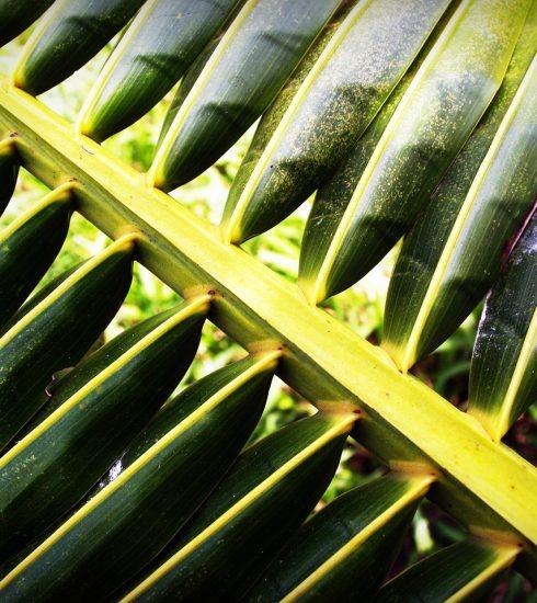 Coconut Leaf Palm Closeup Isolated  - 41330 / Pixabay