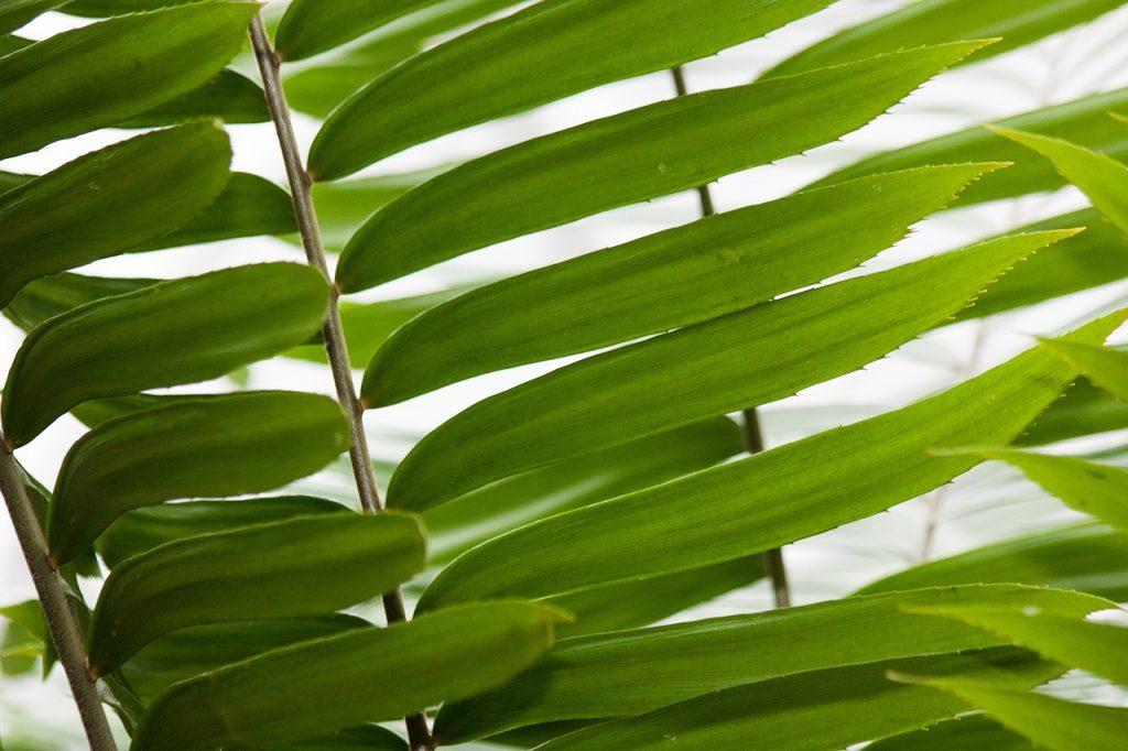 Zamia Genus Cycad Two Female Plant - stux / Pixabay