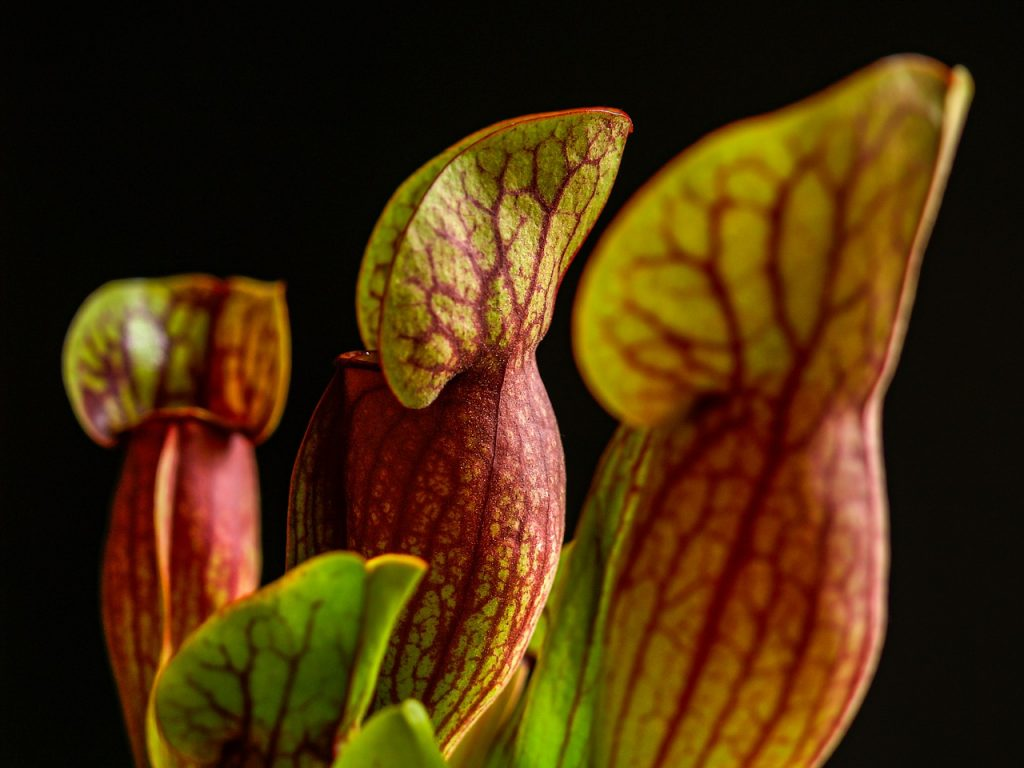 Carnivorous Plant Room Flower  - martin_hetto / Pixabay