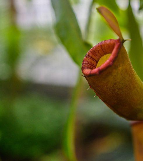 Pitcher Plant Plant Exotic  - PiotrZakrzewski / Pixabay